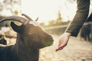 Animal Activist Goat Lover